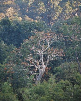 The dense moist sal ( shorea robusta) forests of Bandabagrh