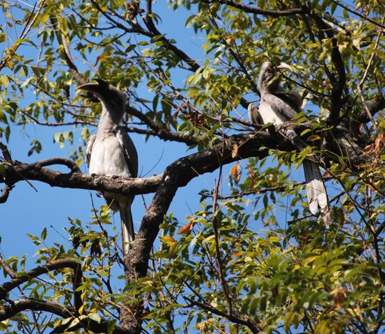 Grey Hornbills