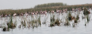 flamingos and flamingoes