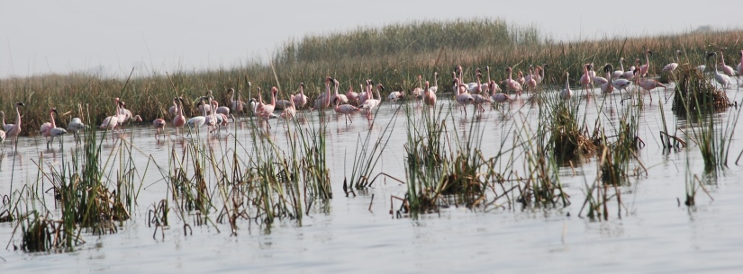 Nalsarovar Water Forest: Home of the Flamingos