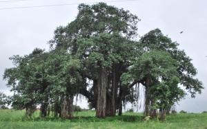 Massive Banyan tree enroute to Mandu
