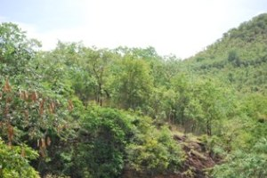 The Tirumala Hills protected by evergreen  trees