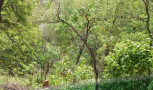 evergreen sacred forest