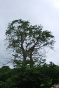 Mysterious baobab trees from the past