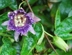 passion flower or the dial of a clock