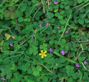 Am amazed by this single yellow flower in a sea of violet flowers