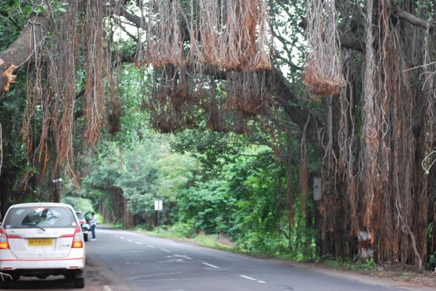 An avenue of aerial roots
