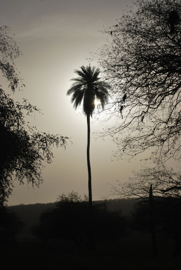 The sun eclipsed by the Date palm tree