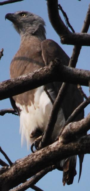 oriental buzzard