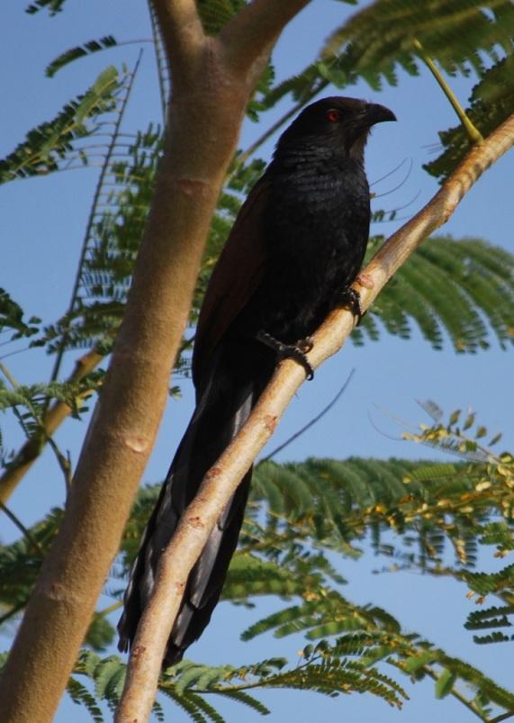 Is it a Crow?