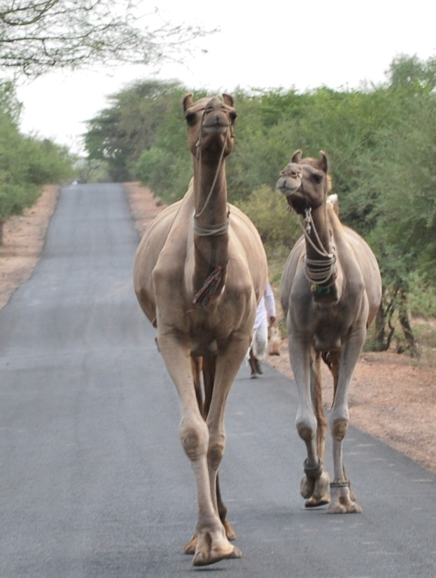 A couple of camels