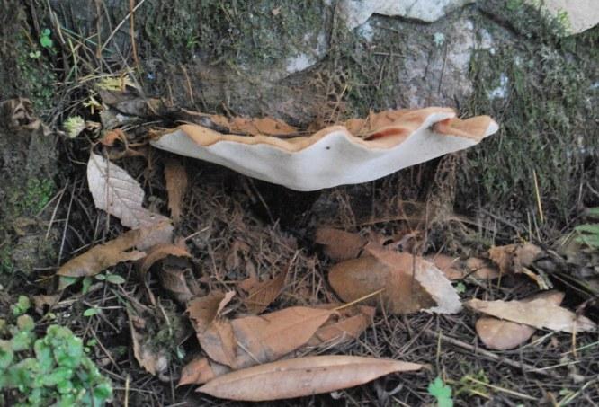 bracket mushroom