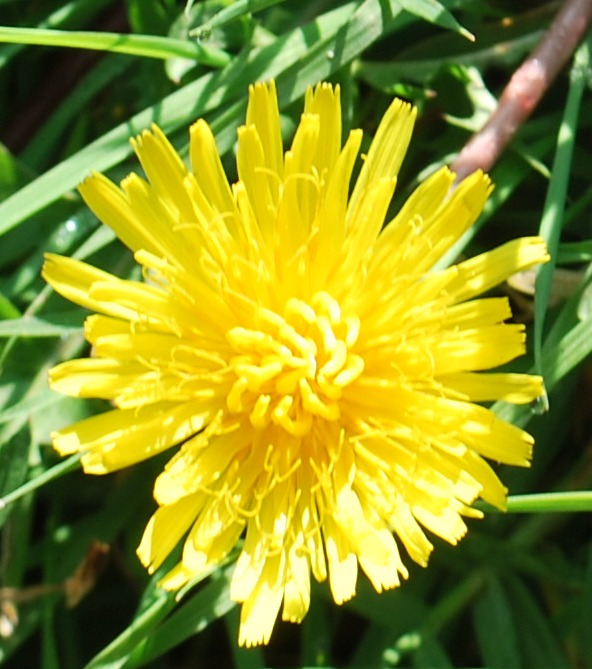 THE DANDELION PUFFBALL