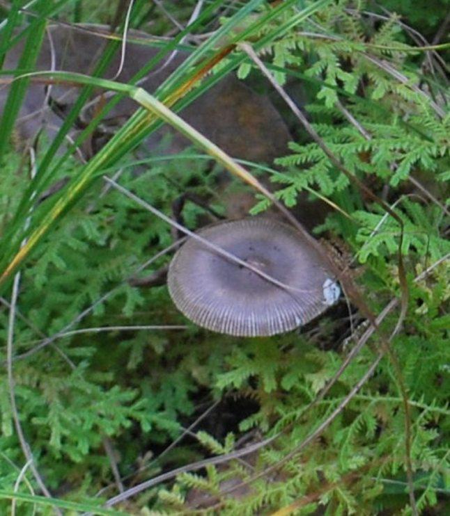 frilled mushroom