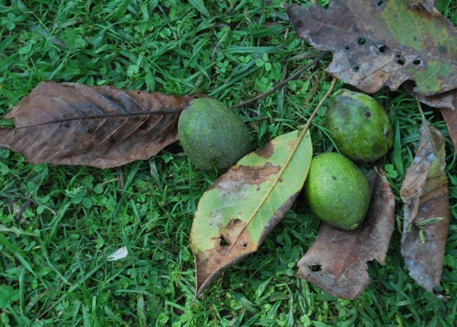 green walnuts strewn on the grass