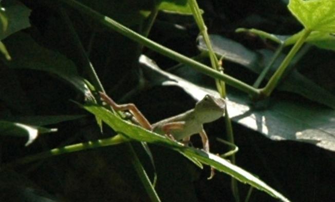 the chameleon baby