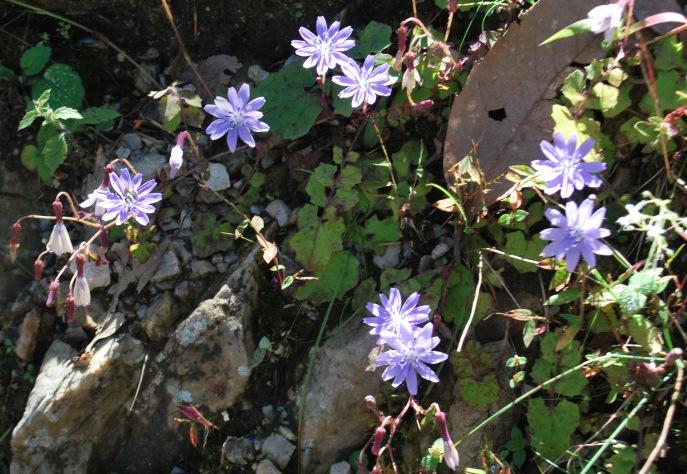 Violet dandelion