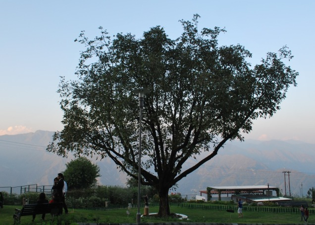 Walnut tree in JW garden