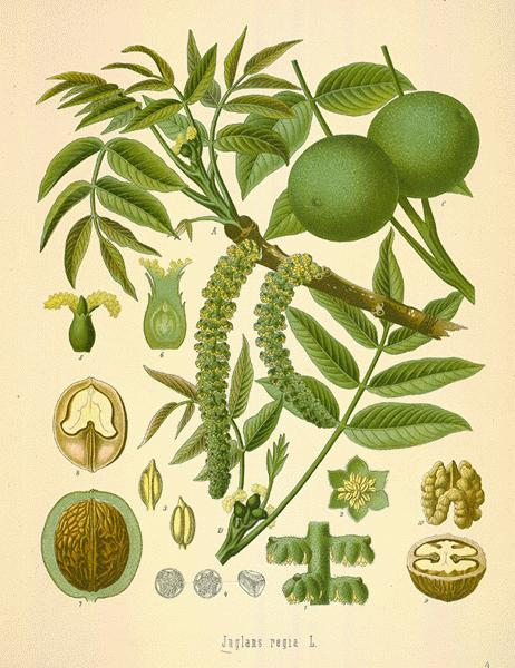 a botanical illustration of the Walnut .