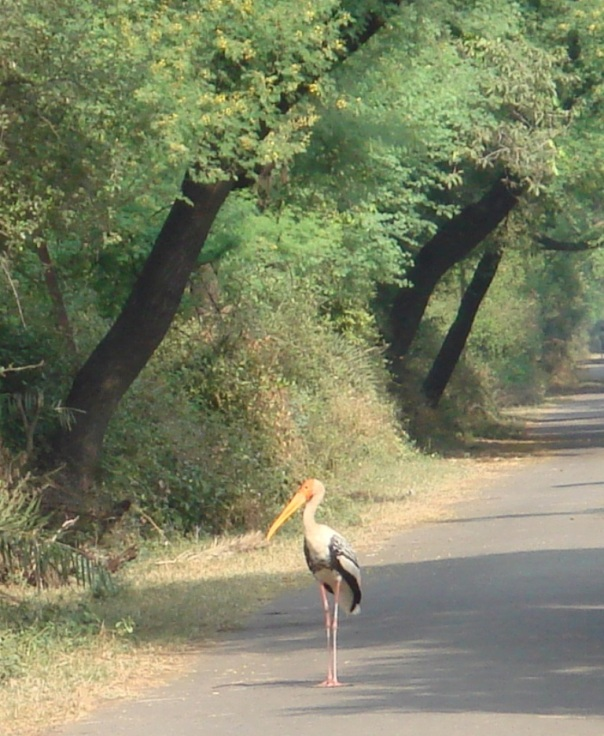 A lonely Painted Stork