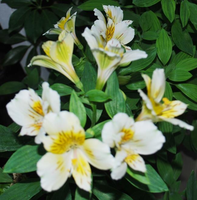 bunch of peruvian lilies