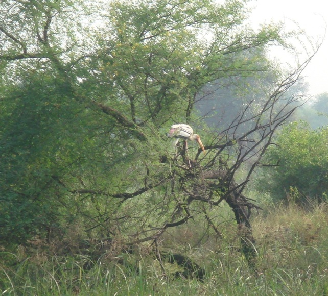 Nesting on a babool tree