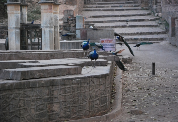 peacocks at a well