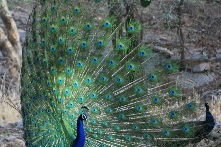 Amazing Peacocks