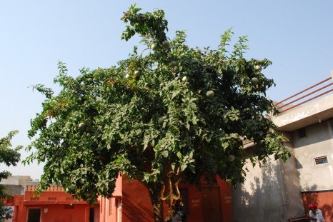 The gorgeous tree in the courtyard of a temple