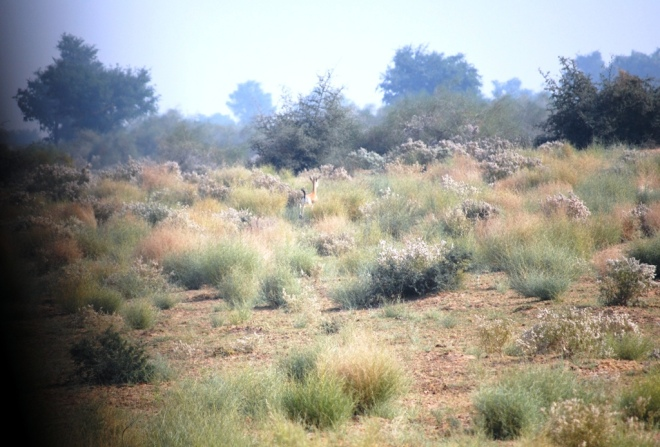A gazelle runs away