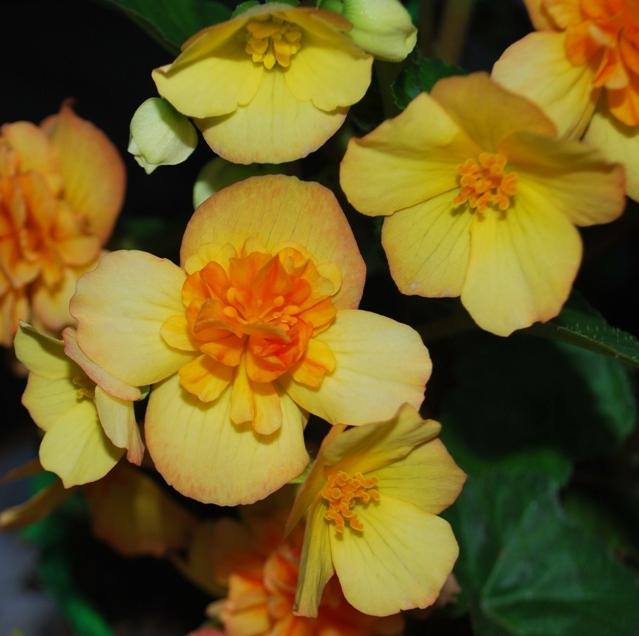 begonia yellow 3