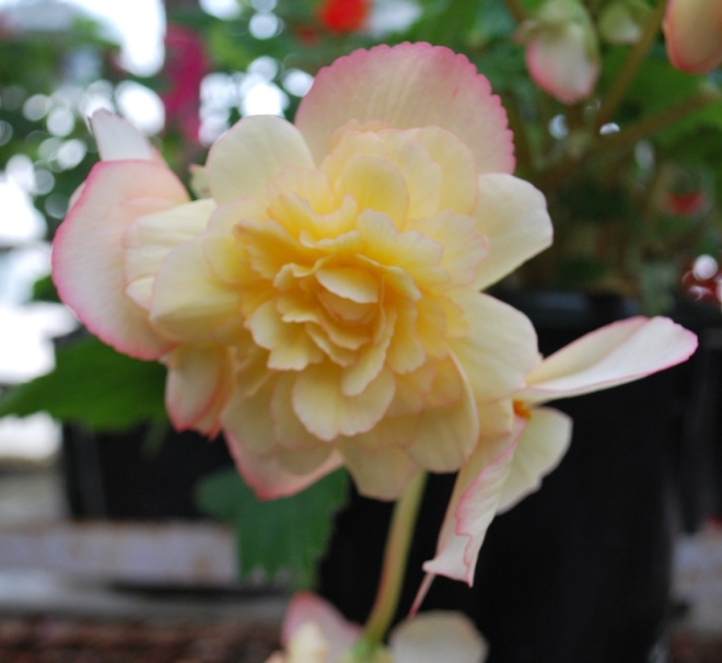 begonias pale pink