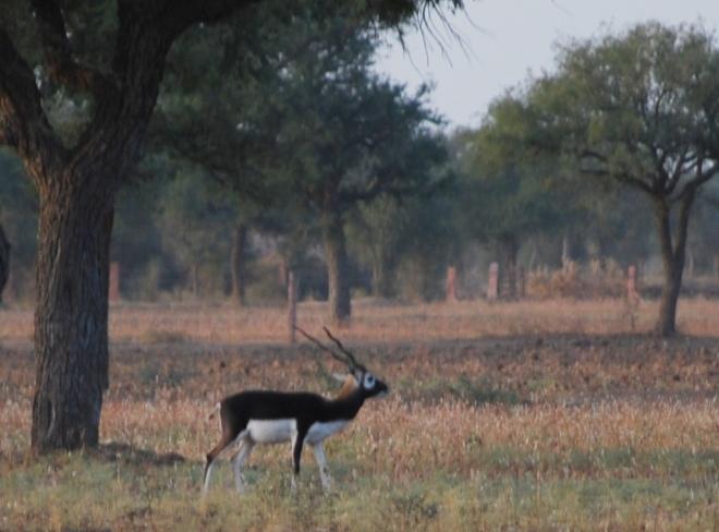 black buck 1