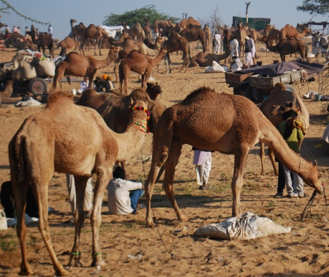 camels all over