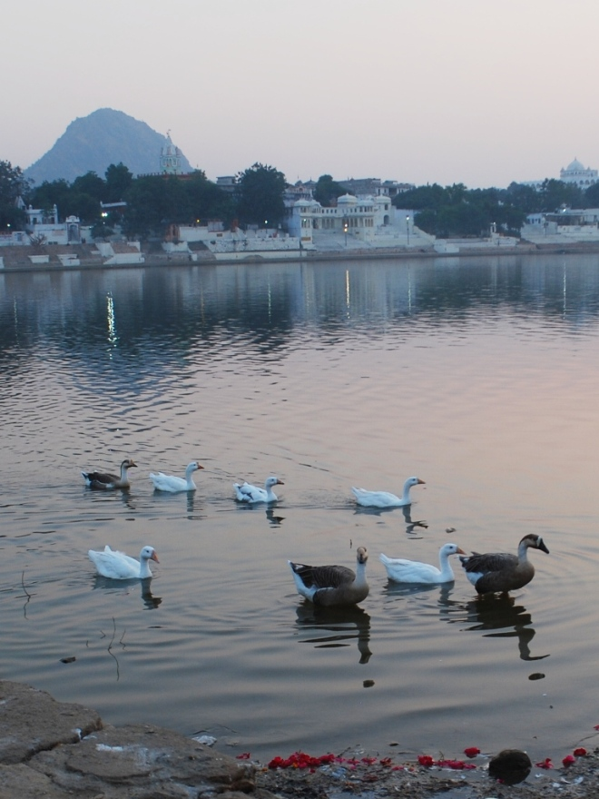 Geese Swim