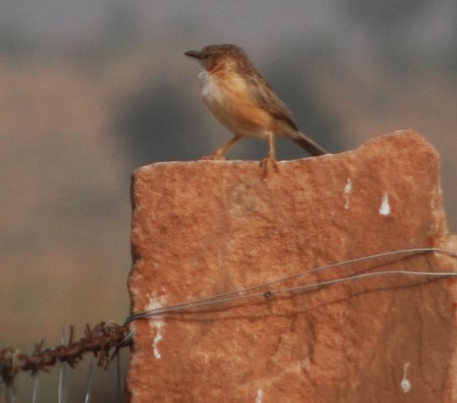 on a redsandstone perch