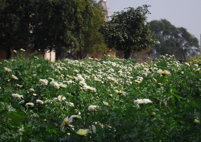 calendula fields