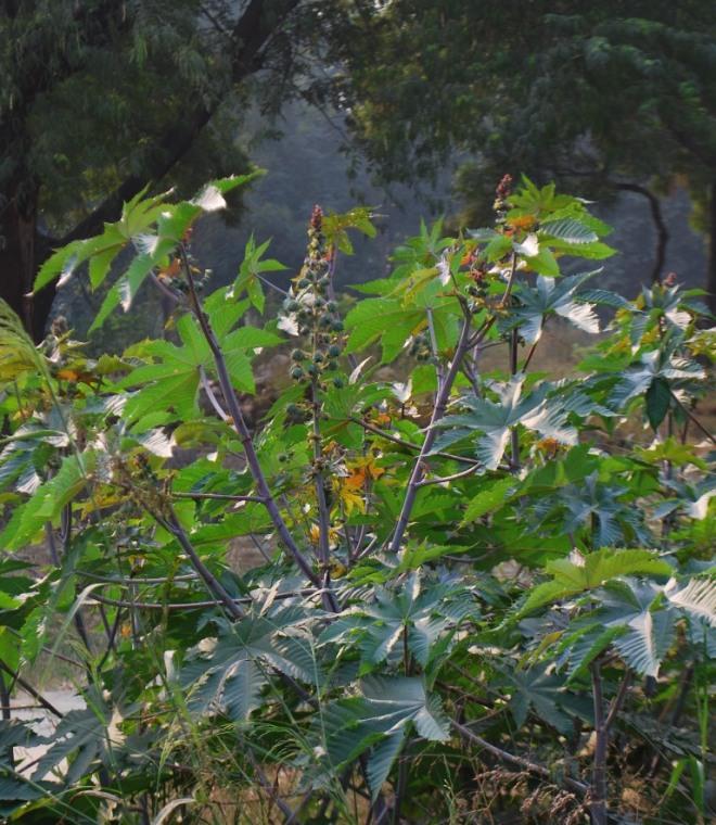 castor growing wild