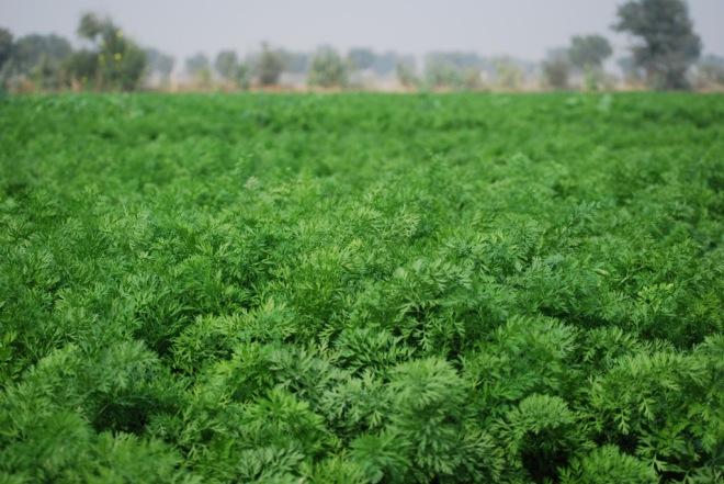 field of carrots