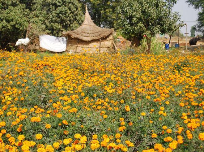 fields with genda cottage