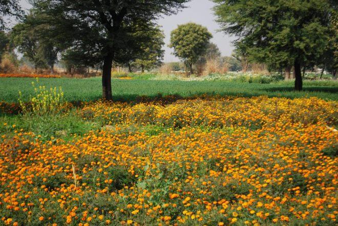 genda plus fields
