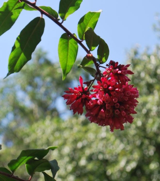 incas flowers