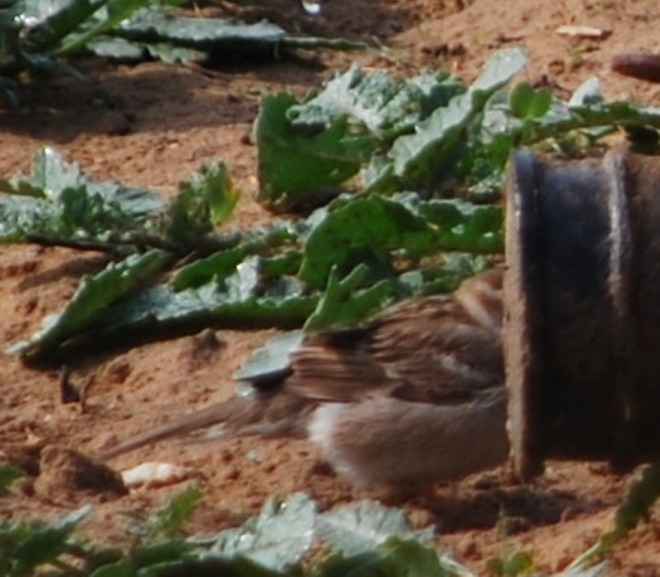 sparrow in pipe
