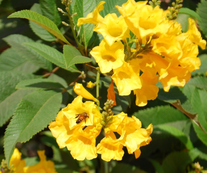 yellow trumpet flowers and a bee