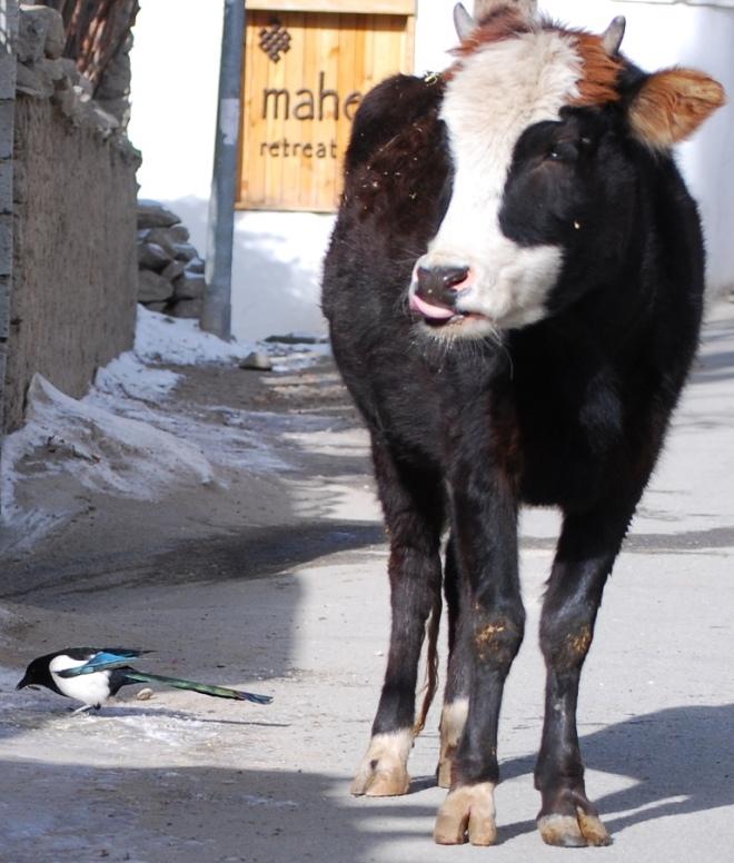 cow slurps