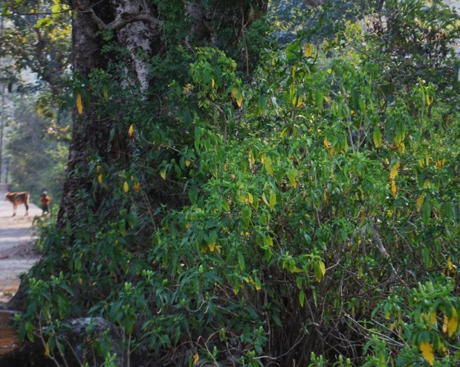 evergreen herb