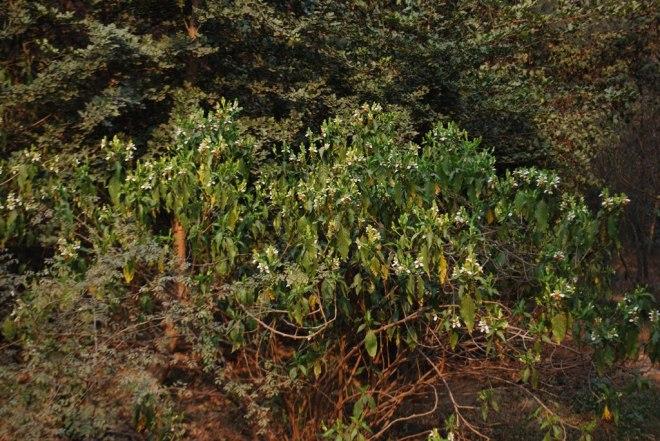 herb in sunder nursery