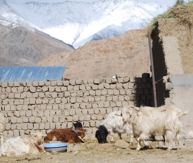 himalayas and goat