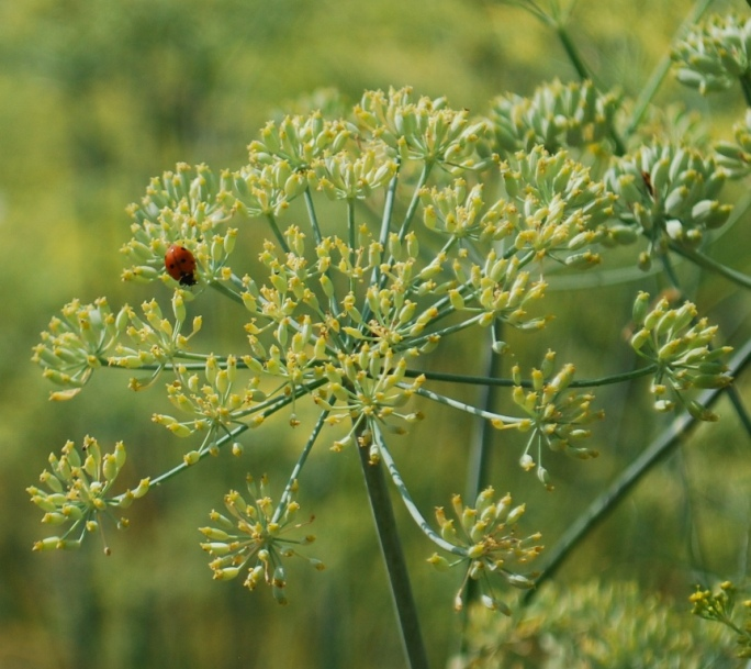 ladybird on anise