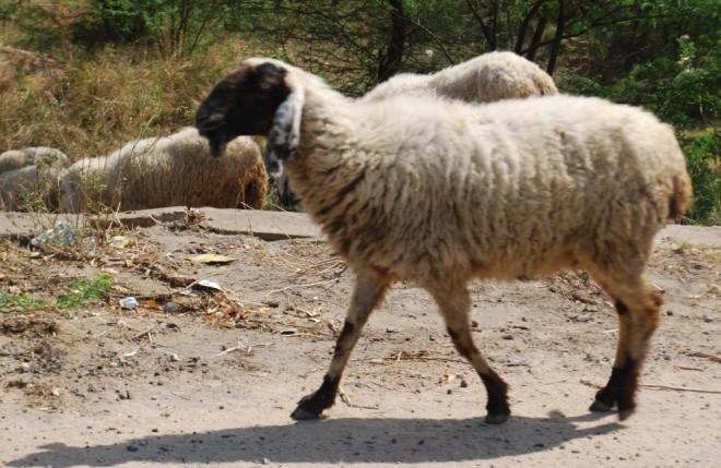 sheep black faced